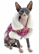 hairless cat wearing a coat