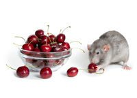 mouse eating a cherry